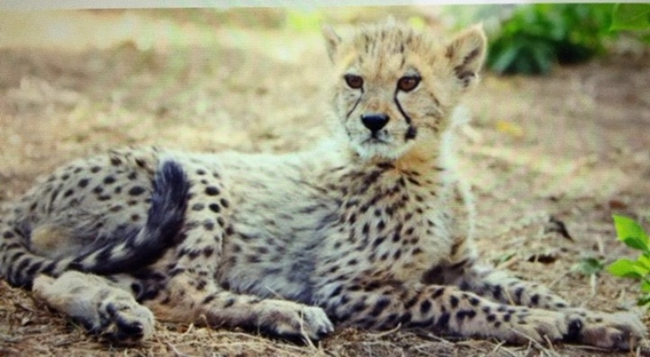 St Lucia Cheetah Tour